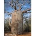 Baobab σκόνη - Βιολογική